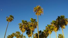 Drzewka palmowe nad niebem przy Venice plażą, California zbiory wideo