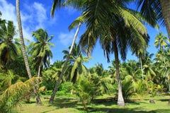 Drzewka palmowe, niebo, koks Zdjęcia Royalty Free
