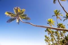 Drzewka palmowe przeciw niebieskiemu niebu w Punta Cana plaży, republika dominikańska fotografia royalty free