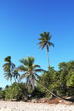 Drzewka palmowe i niebieskie niebo w republice dominikańskiej Obrazy Stock