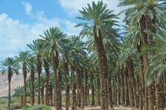 Drzewka palmowe r w Judejskiej pustyni w Izrael Obrazy Royalty Free