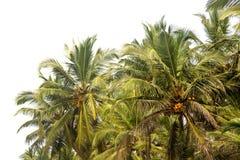 Drzewka palmowe w Agonda, Goa Obrazy Royalty Free