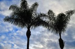 Drzewka palmowe w Beverly Hills Kalifornia fotografia royalty free