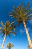 Drzewka palmowe w Egipt Zdjęcia Stock