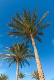 Drzewka palmowe w Egipt Obraz Royalty Free