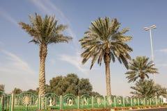 Drzewka Palmowe w Mezairaa, UAE Zdjęcie Stock