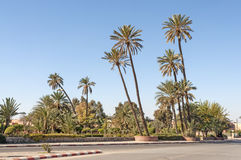 Drzewka palmowe w mieście Marrakesh Obrazy Royalty Free