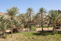 Drzewka palmowe w oazie, Oman Obrazy Stock
