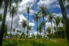 Drzewka palmowe w Paraguay Obrazy Stock