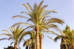 Drzewka palmowe w pustyni obraz royalty free