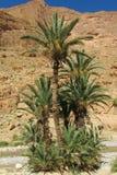 Drzewka palmowe w pustynnej halnej oazie Zdjęcia Stock