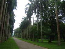 Drzewka palmowe w sri lance fotografia royalty free