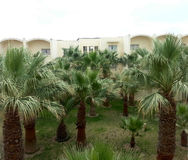 Drzewka palmowe w Tajlandia Zdjęcie Royalty Free