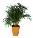 Drzewka palmowe w terakotowych garnkach odizolowywających na białym tle zdjęcie royalty free