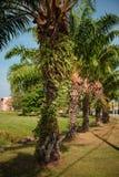 Drzewka palmowe wzdłuż drogi Zdjęcia Stock