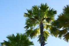 Drzewka Palmowe z niebieskiego nieba tłem obraz stock