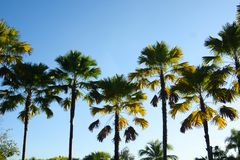 Drzewka Palmowe z niebieskiego nieba tłem tropikalny zdjęcie royalty free