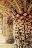 Drzewka palmowe zbliżenia tło Zdjęcia Royalty Free