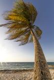 Drzewka palmowego chodzenie w wiatrze Zdjęcia Stock