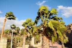 Drzewka palmowego dmuchanie w wiatrze Fotografia Royalty Free