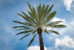 Drzewka palmowego dojechanie dla pogodnych niebieskich nieb Obraz Royalty Free