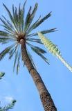 Drzewka palmowego i agawy kwiatu vertical i przekątna Obraz Stock