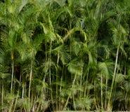 Drzewka palmowego tło - tropikalna dżungla, drzewka palmowe - Obrazy Stock