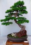drzewko bonsai Obrazy Royalty Free