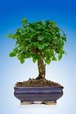 drzewko bonsai Obraz Stock
