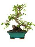 drzewko bonsai Zdjęcie Stock