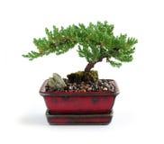 drzewko bonsai Zdjęcia Royalty Free