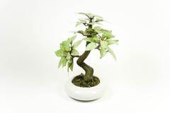 drzewko bonsai Zdjęcia Stock