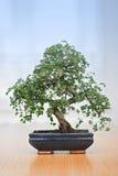 drzewko bonsai Obrazy Stock