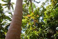 Drzewko Palmowe. Fotografia Royalty Free