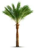 drzewko palmowe Obrazy Stock