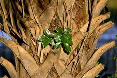 Drzewko palmowe bagażnika tło Zdjęcia Stock
