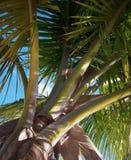 Drzewko palmowe baldachim Zdjęcia Royalty Free