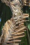 Drzewko palmowe barkentyna obrazy stock