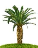 drzewko palmowe biel Zdjęcia Stock