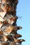 Drzewko palmowe bolus zdjęcia stock