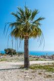 Drzewko palmowe Cypr Śródziemnomorski Obrazy Royalty Free