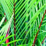 Drzewko palmowe, Cyrtostachys renda Blume Zdjęcia Royalty Free
