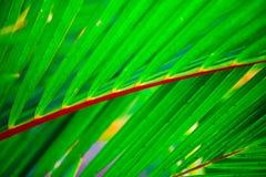 Drzewko palmowe, Cyrtostachys renda Blume Zdjęcie Royalty Free