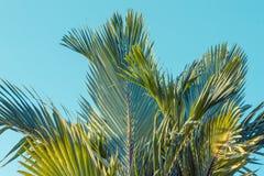 Drzewko palmowe, Cyrtostachys renda Blume Obrazy Royalty Free