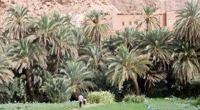 Drzewko palmowe daktylowa Plantacja Zdjęcie Stock