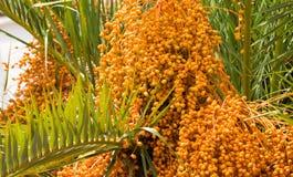 Drzewko Palmowe daty Zdjęcie Stock