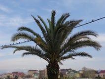 Drzewko palmowe i gołębie na drutach Zdjęcia Royalty Free