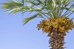 Drzewko palmowe i tam jest mnóstwo żółtymi owoc obraz stock