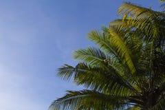 Drzewko palmowe korona z puszystymi liśćmi na niebieskiego nieba tle Palm korony na niebieskim niebie Fotografia Royalty Free