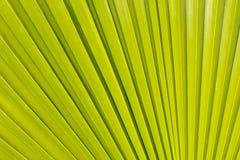 Drzewko palmowe liścia tło, drzewko palmowe liścia zbliżenie Zdjęcia Royalty Free